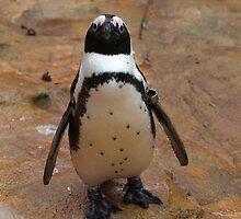 Baby Penguin by Franco De Luca Calce