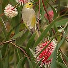 White Plumed Honeyeater by Pamela Inverarity