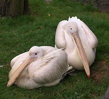Pelican Love by Franco De Luca Calce