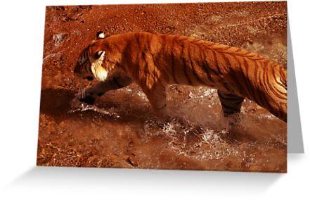 Bengal Tiger by MMerritt