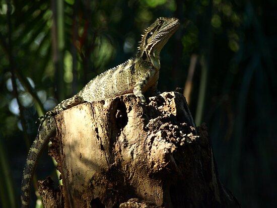 Frill Neck Lizard by Colin Van Der Heide