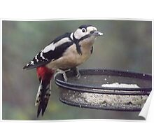 Great Spotted Woodpecker Eating Peanut Cake Poster