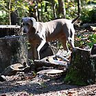 Dixie - Weimaraner by Ginger  Barritt