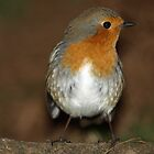 Robin Red Breast Profile by Franco De Luca Calce