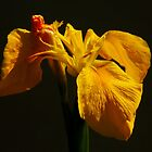 Yellow Flag Iris by AnnDixon