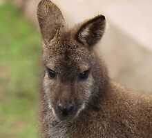 Young Female Wallaby by Franco De Luca Calce