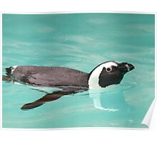 Young Penguin In Pool Poster