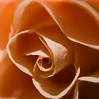 Orange Rose by andyw