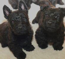 Scottish Terrier Pups by Franco De Luca Calce