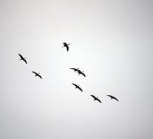 Cranes Flying 1 by rdshaw