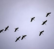 Cranes Flying 15 by rdshaw