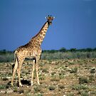 Giraffe on plain  by cascoly