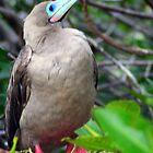 Red-footed Booby by Laurel Talabere