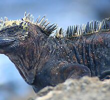 Marine Iguana on Rabida by Laurel Talabere