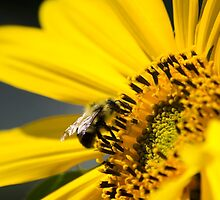 Sunflower and Bee by Christina Rollo