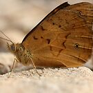 Common Brown Butterfly by Steve Bullock