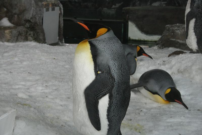 King Penguin by Jay Spadaro