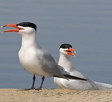 Caspian Terns by FrankM