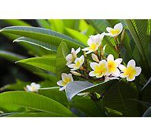 Golden White Native  Frangipani in Taiwan Photographic Print