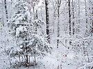 Snowy Forest Wonderland by NatureGreeting Cards ©ccwri
