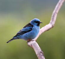 Blue Dacnis by drknuth