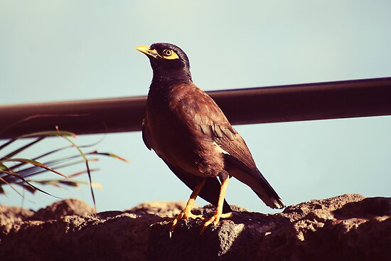 Mynah bird in Po'ipu, Kauai by Amber Gregory
