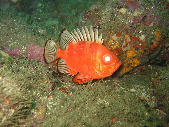 Freaky Evil Fish - Costa Rica by Dave Mortell