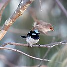 Excuse me! Superb Fairy-wren pair (Malurus cyaneus),  by Normf