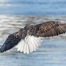 American Bald Eagle 2015-20 by Thomas Young