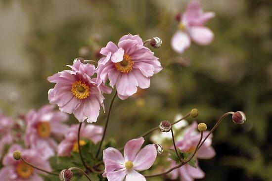 Pink Blooms I by Robin Webster