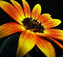 African Sunflower by JuliaWright