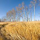Poplars by Dan McKechnie