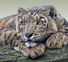 Snow Leopard Dreaming by Krys Bailey