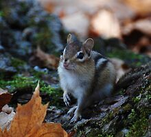Wild Chipmunk by Lynda   McDonald