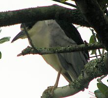 Black Crowned Night Heron by DottieDees