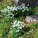 Where Snowdrops Grow....... by lynn carter