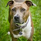 Trixie by dolbullbreeds