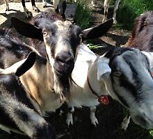 Lazy Lady Goats by nicholehastings