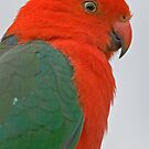 King Parrot, Lamington National Park, Queensland, Australia by Adrian Paul