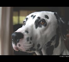 "Dalmatian, Yarrowfell High Society, ""Ziggy"" by dolnonsporting"