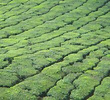 tea plantation by Gipi Gopinath