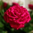 Romantic Red Rose by SunriseRose