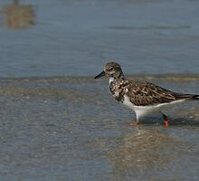 Ruddy Turnstone by Karen  Moore
