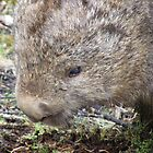 wombat - munching the grass at Cradle Mt by gaylene