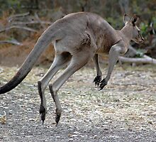 Eastern Grey Kangaroo by Ngakeone