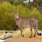 Cheetah by ozczecho