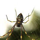 Orb Weaver by SeeingTime