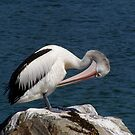 Preening Pelican by Arthur Richardson