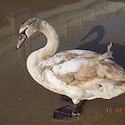 swan by elena7