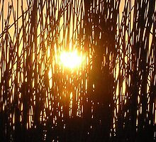 Sunny Reeds by Johnnie